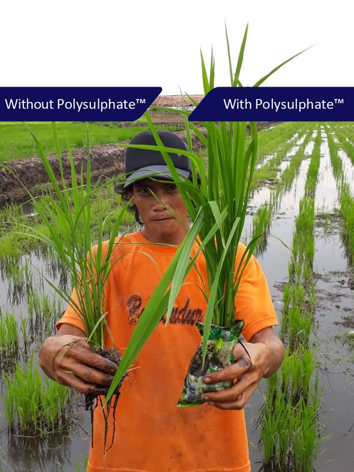 This farmer in Indonesia demonstrates how Boulby Polysulphate is benefitting his paddy rice crop.